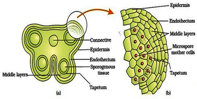 The Microsporangium & the Male Gametophyte : Plantlet