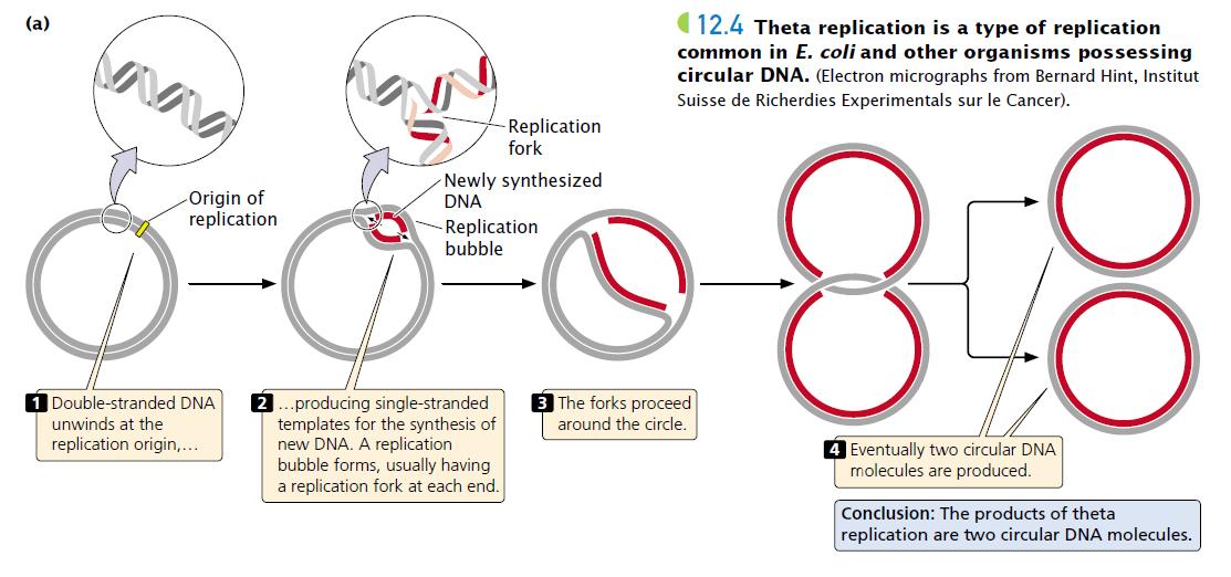 Replication In Circular Dna Theta Model Plantlet