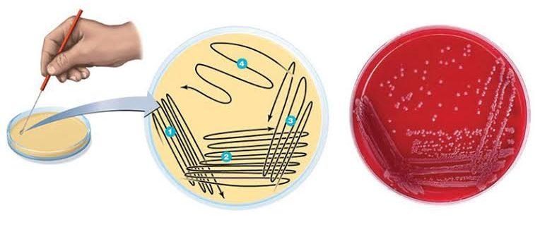 Streak plate method. Source: Microbenotes.