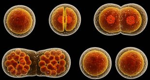 Visualization of cell division under microscope.