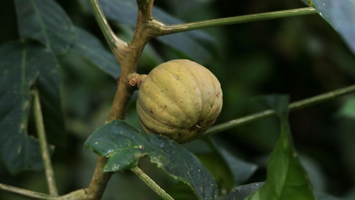 Fruit of Hura crepitans