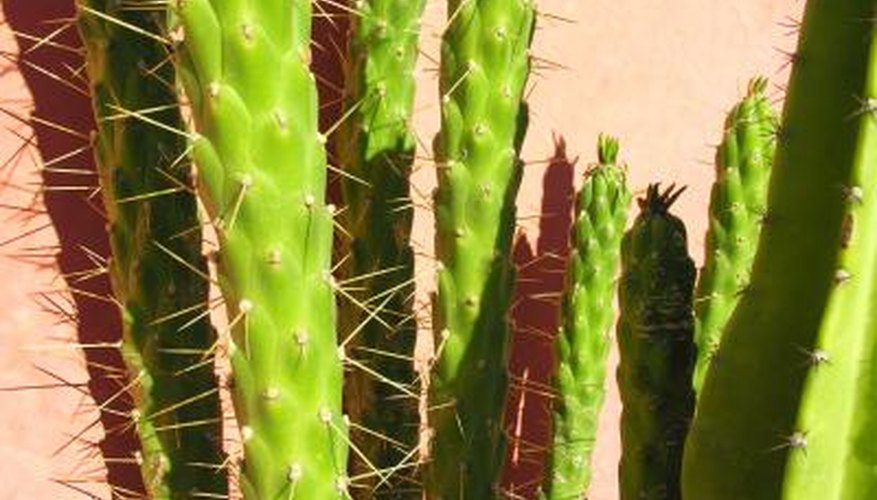 Cactus- It has spines rather than leaves