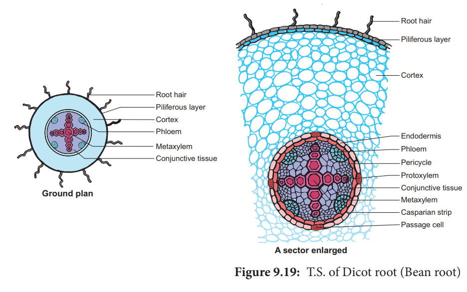 T.S. of Dicot Root.( Primary structure)