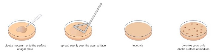 Spread plate method of bacterial isolation. Source: Wikipedia Commons.