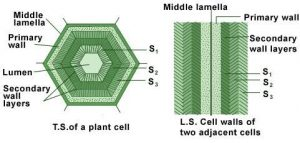 Figure- Layers of cell. Detail