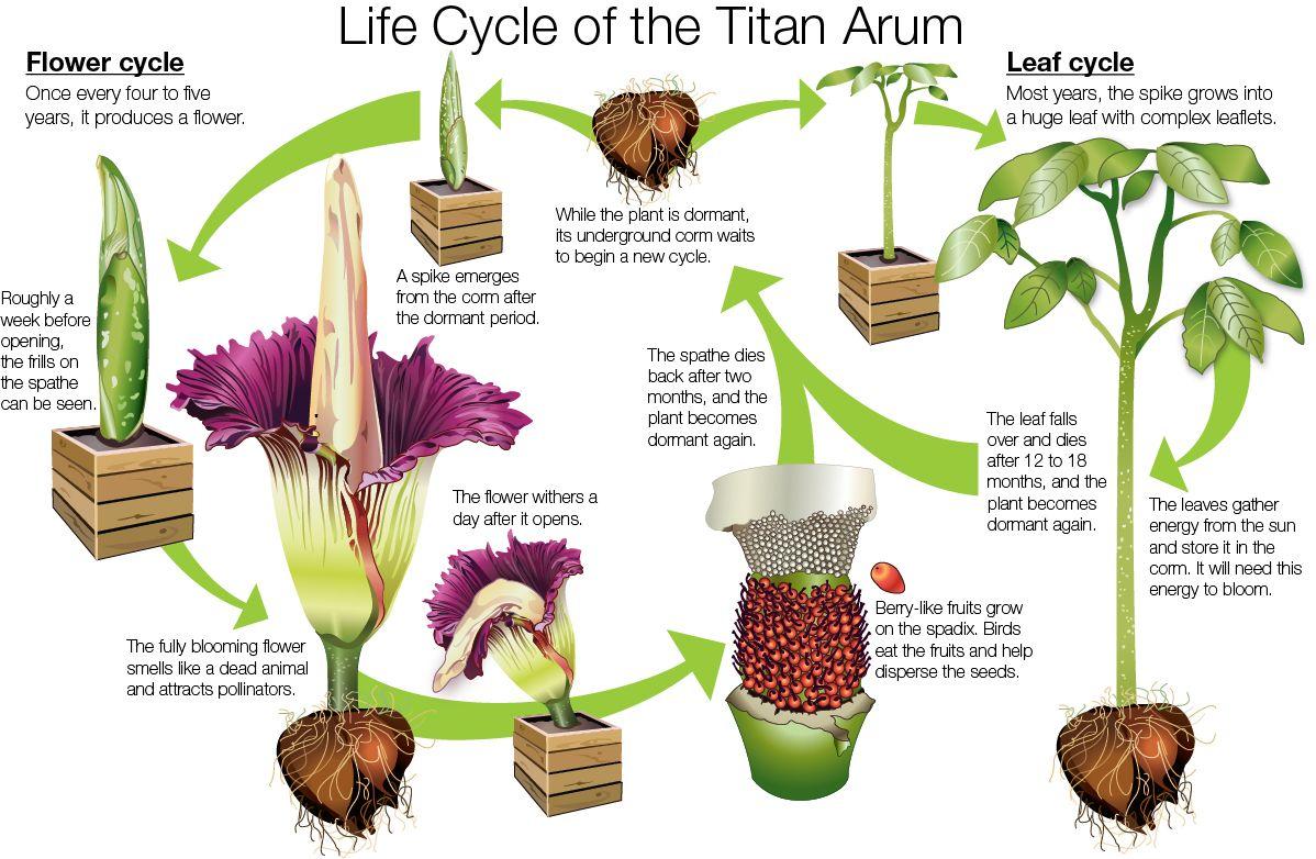 Life cycle diagram of Titan arum