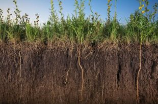 Assorted prairie grasses and sunflowers sink their roots deep into soil near Salina, Kansas. These perennials' root systems grow and strengthen for years, preventing erosion and storing water. The thick sunflower roots in the photo are six feet long.