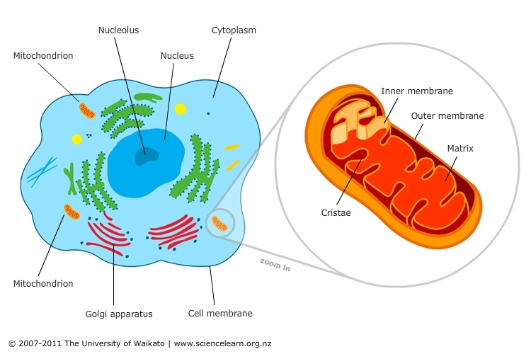 A mitochondria from the cell.
