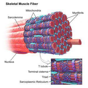Endoplasmic reticulum in paratoid gland cell