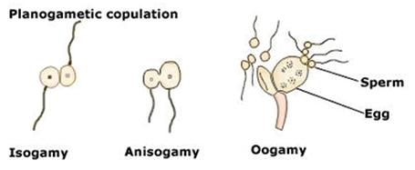 Sexual reproduction in fungi: Planogametic copulation