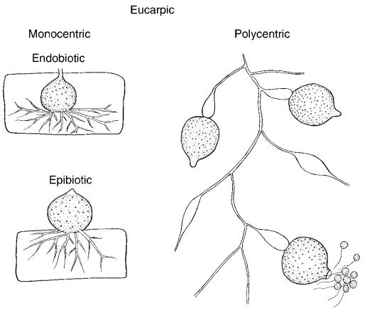 Eucarpic fungi