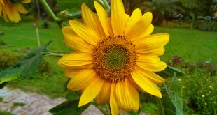 Sunflower, Helianthus annuus L.